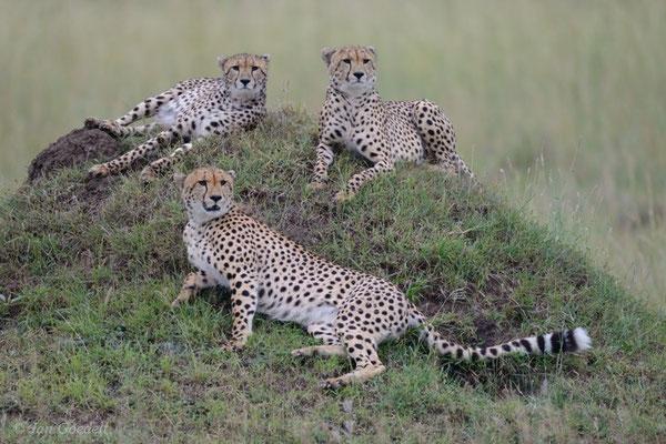 Drei Geparde liegen wachsam auf einem Hügel, Masai Mara (Kenia)