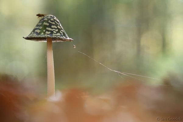 Spechttintling mit Fliege und kleiner Spinne