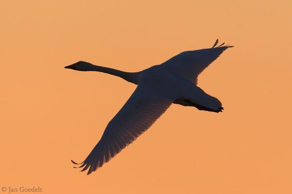 Singschwan im Abendlicht