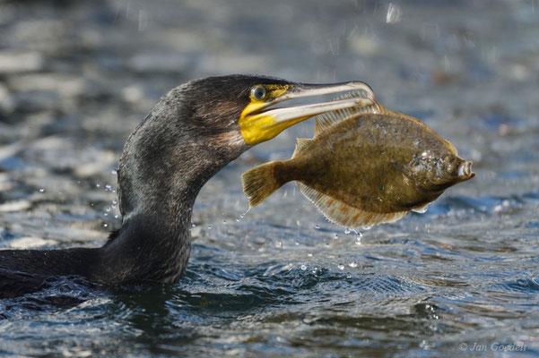 Kormoran mit Plattfisch