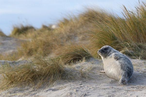 Kegelrobbe ruht in den Dünen Helgolands