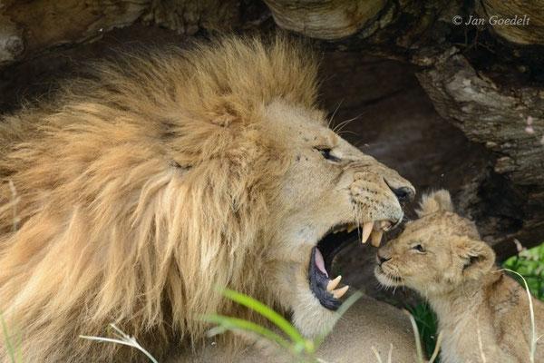 Männlicher Löwe brüllt genervt sein Jungtier an, Masai Mara (Kenia)