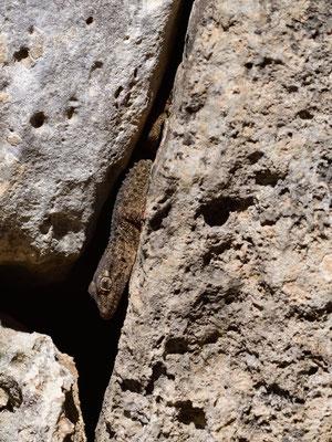 Mauergecko versteckt sich in einer Felsspalte