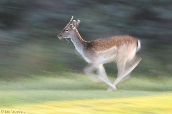Junger Damhirsch rennt vorbei (lange Belichtungszeit)