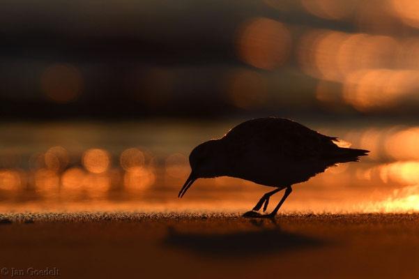Sanderling im Sonnenuntergang