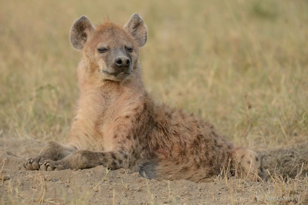 Tüpfelhyäne liegt wachsam am Bau, Masai Mara (Kenia)