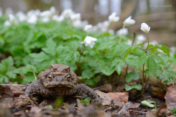 Erdkröten-Paar auf der Wanderung durch den Wald zum Laichgewässer