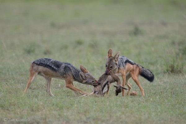 Schabrackenschakale mit erbeuter Antilope, Masai Mara (Kenia)