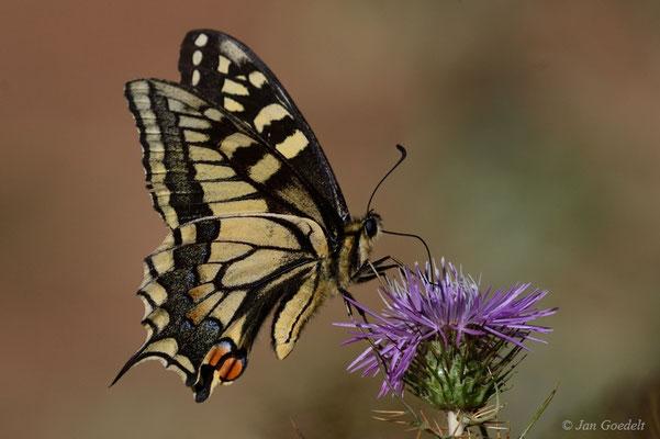 Schwalbenschwanz nektartrinkend
