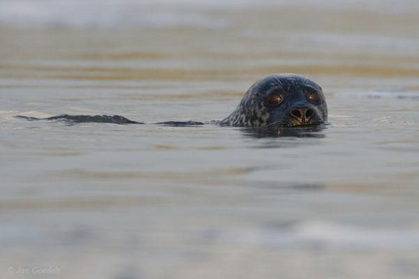 Seehund schwimmt an mir vorbei