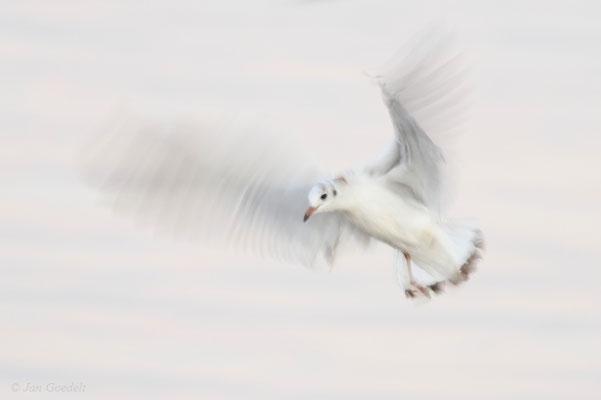 Lachmöwe im Flug (mit langer Belichtungszeit)