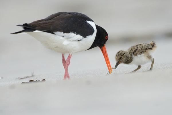 """Austernfischer füttert einen seiner Jungvögel (mehr Bilder unter """"Themenfotos"""")"""
