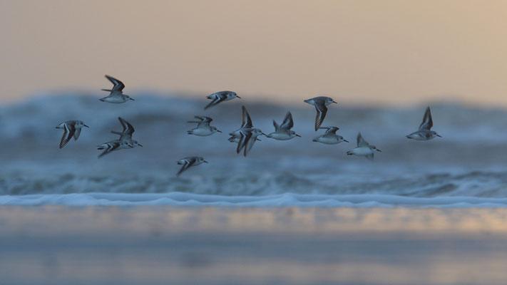 Sanderlinge fliegen im Abendrot vorbei