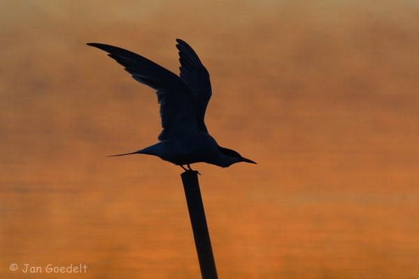 Flussseeschwalbe flügelt sich im Sonnenuntergang