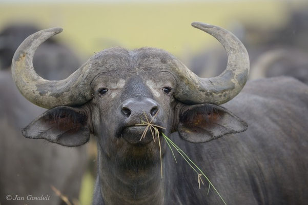 Kaffernbüffel frisst Gräser, Masai Mara (Kenia)