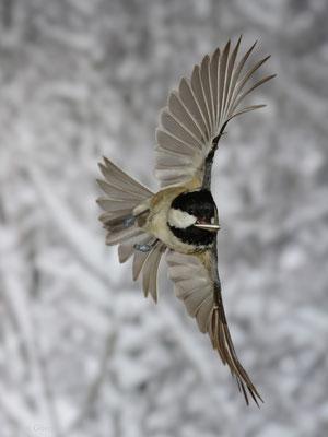 Tannenmeise fliegt vom Futterhäuschen ab