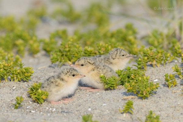 Zwergseeschwalben-Jungvögel