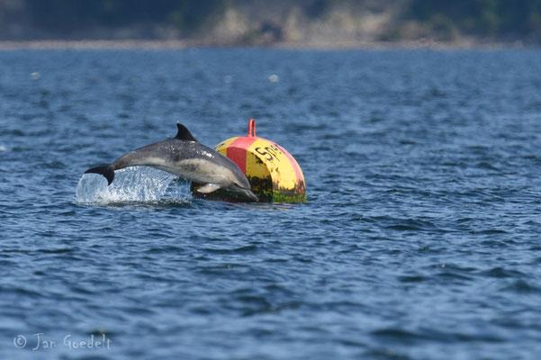 Gemeiner Delfin als sehr seltener Gast in der Ostsee