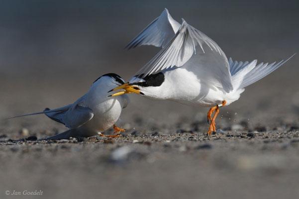 Zwergseeschwalben im Streit