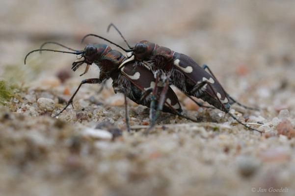 Paarung des Dünen-Sandlaufkäfers