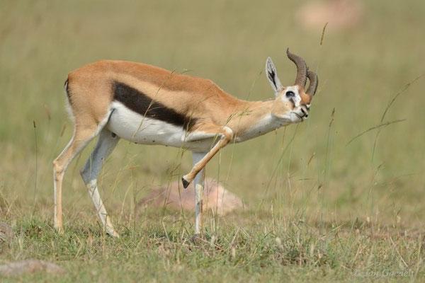 Thomson-Gazelle setzt eine Duftmarke, Masai Mara (Kenia)