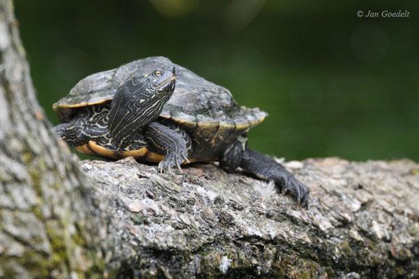 Europäische Sumpfschildkröte wärmt sich in der Sonne