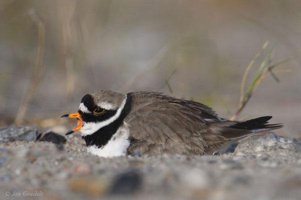 Brütendes Männchen des Sandregenpfeifers