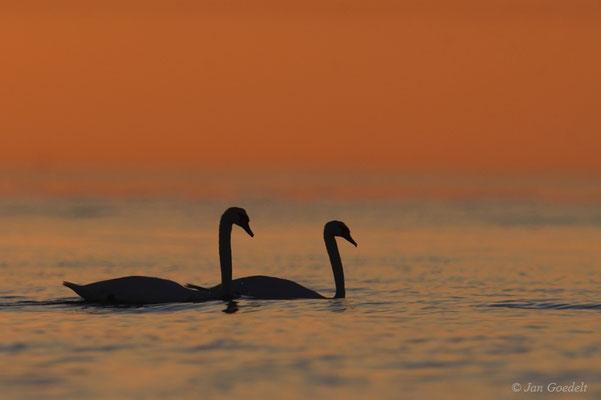 Höckerschwanpaar bei Sonnenaufgang