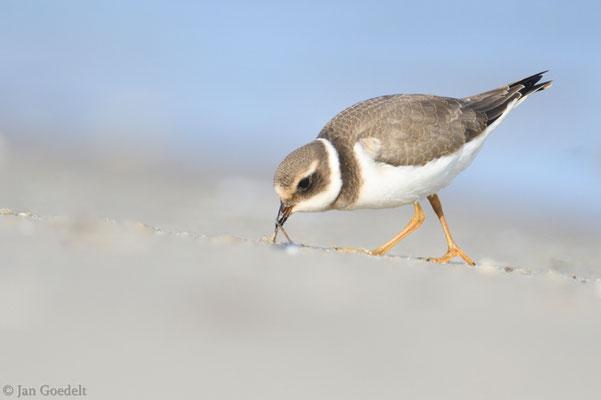 Sandregenpfeifer erbeutet einen kleinen Wurm
