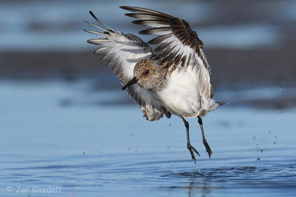 Sanderling fliegt ab nach dem Baden