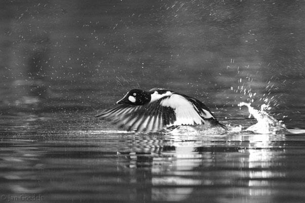 Abfliegendes Schellenten-Männchen mit längerer Belichtungszeit (schwarz-weiß)