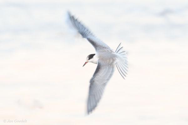 Flussseeschwalbe im Flug mit langer Belichtungszeit