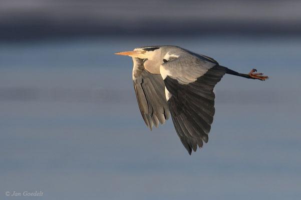 Graureiher fliegt vorbei
