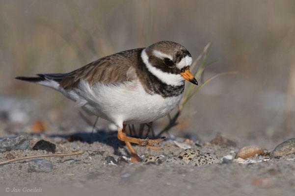 Brutablösung - das Weibchen des Sandregenpfeifers kommt zum Brüten