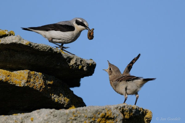 Steinschmätzer-Männchen füttert Jungvogel