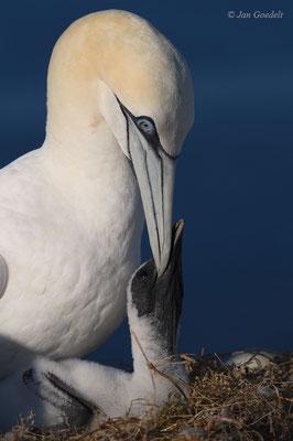 Bettelnder Jungvogel des Basstölpels