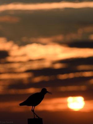 Rotschenkel auf seiner Sitzwarte im Sonnenuntergang