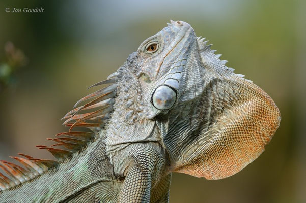 Männlicher Grüner Leguan balzt und zeigt seinen Kehllatz, Florida