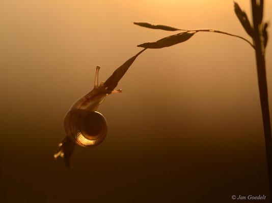 Kleine Schnirkelschnecke im Sonnenaufgang