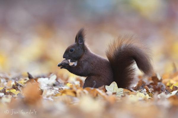 """Eichhörnchen im Herbstlaub (mehr Bilder unter """"Themenfotos"""")"""