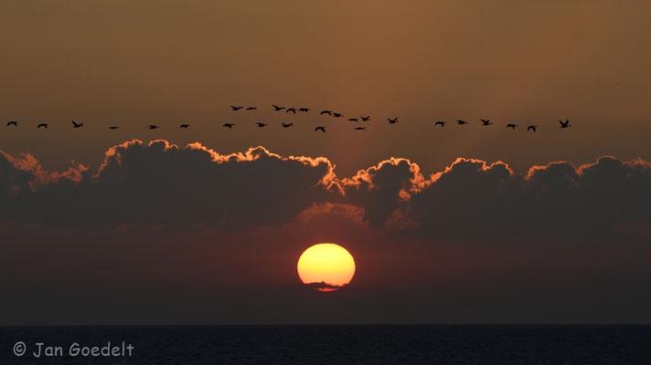 Ein Trupp Ringelgänse vor Sonnenuntergang