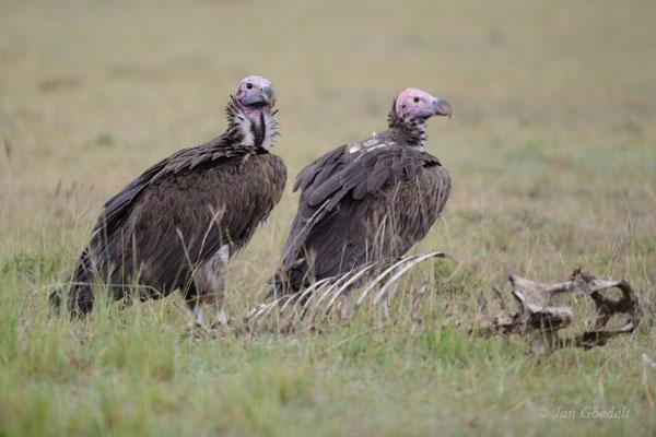 Ohrengeier am abgenagten Kadaver, Kenia (Masai Mara)