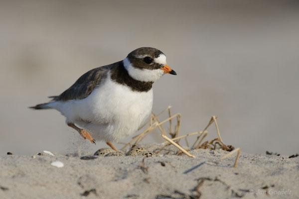Sandregenpfeifer kehrt zurück auf das Nest