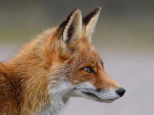 Portrait eines Rotfuchses