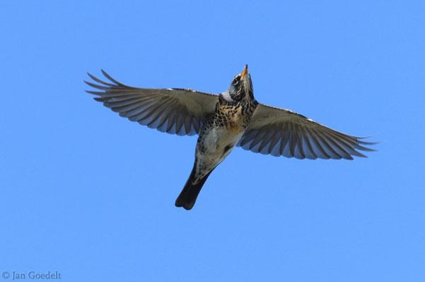 Fliegende Wacholderdrossel