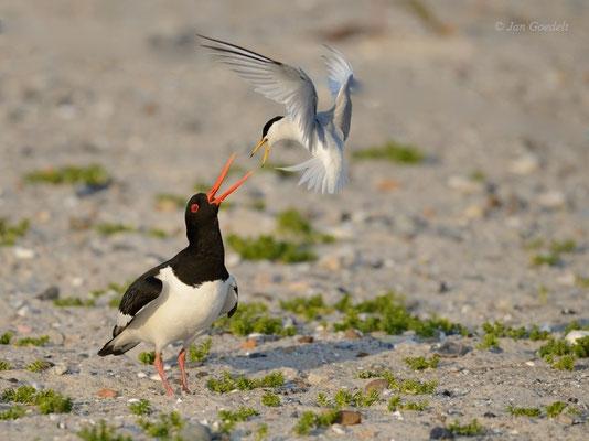 Zwergseeschwalbe attackiert Austernfischer