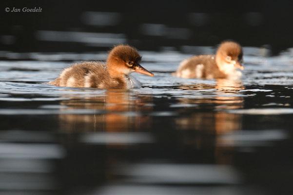 Mittelsäger-Jungvögel auf der Ostsee