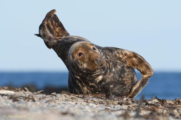 Kegelrobben-Bulle ruht am Strand