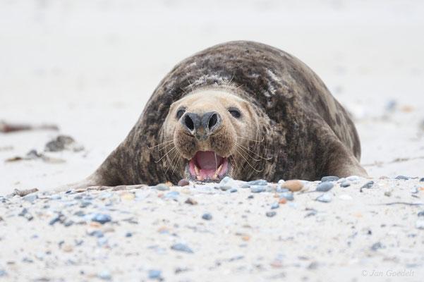 Drohender Kegelrobbenbulle robbt über den Strand