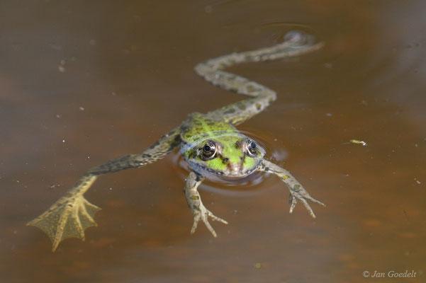 Wasserfrosch schwimmt in kleinem Teich